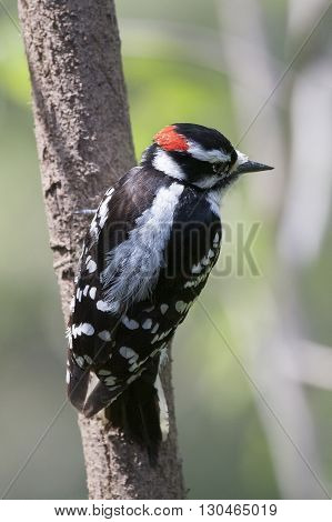 Downy Woodpecker Perched on a Tree in the spring