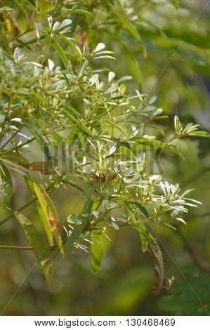 White Christmas tree or Euphorbia leucocephala plants in nature garden