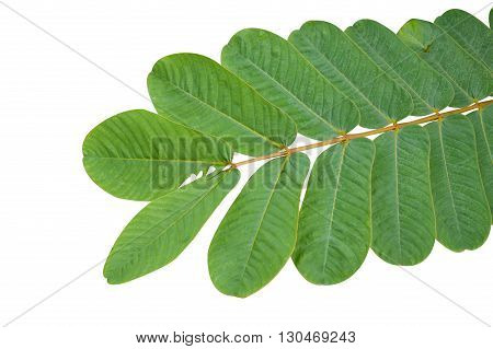 green Ringworm Bush leaves on white background