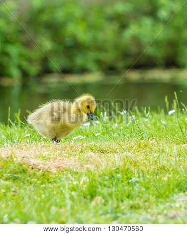 Young canada goose chick feeding on grass