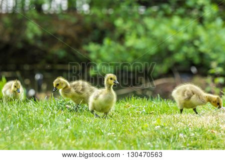 Young Canada goose chicks feeding on grass