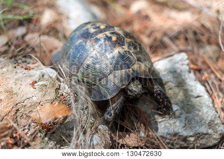 Turtle in Turkey, Asia Minor, Antalya Destrict