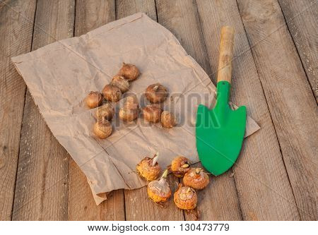 Gladiolus bulbs before planting and garden shovel on a wooden table