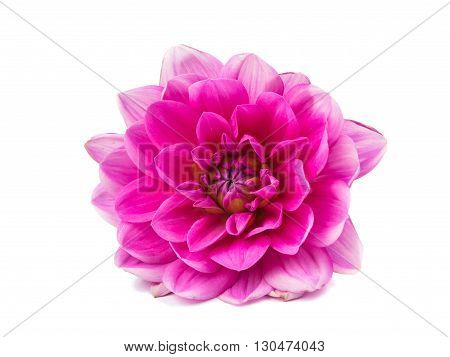 floral pink dahlia isolated on white background