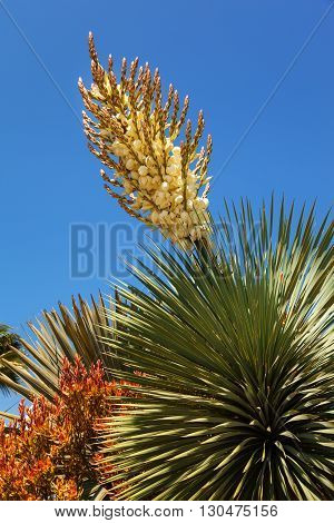 Blooming Yucca in California close up USA