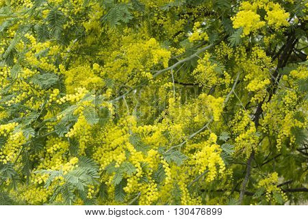 Mimosa silver blue wattle Acacia dealbata tree with yellow flowers in full bloom in Spring.