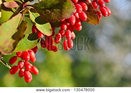 Red barberry berries on the tree in nature
