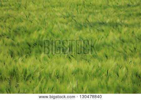 Abstract image created by the wind blowing in field of green barley