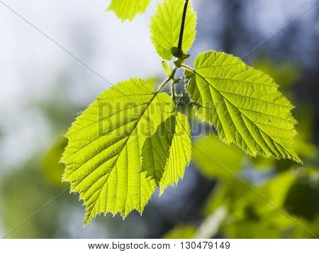 Leaves of Hazelnut tree Corylus in sunlight with bokeh background selective focus shallow DOF
