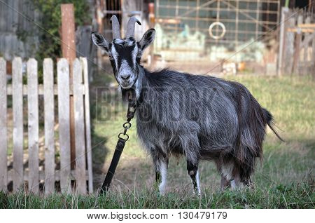 Home tethered gray goat close-up on a background of the rural landscape.