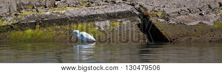 White Egret in the Alamitos Bay Channel in Long Beach California USA