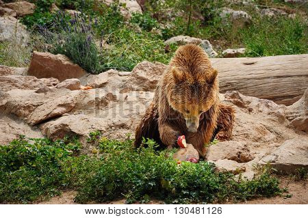 Brown bear eating apple