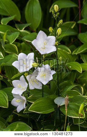 White bell flowers Campanulas Carpatica Alba in nature