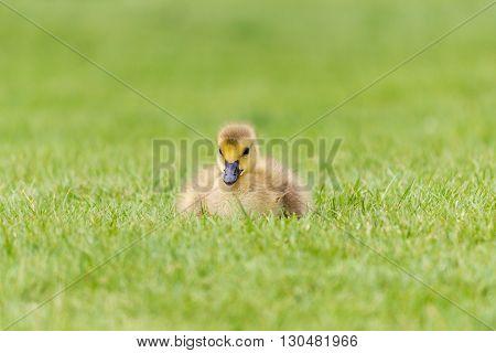 A newborn Canada Goose,  Gosling in the Grass