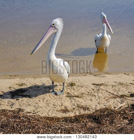 Two Australian pelicans standing in the sun.