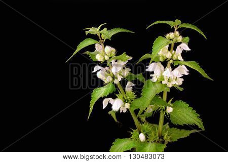 Blooming nettle with white blossoms on a black background
