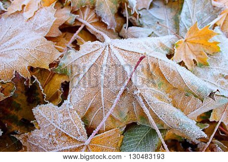 Fallen autumn leaves covered with hoarfrost crystals