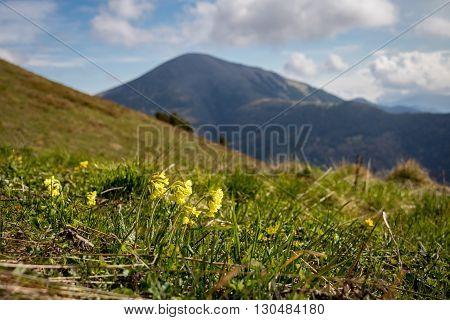 Primrose Flowers On Mountain Spring Meadow