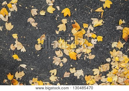 Yellow Fallen Autumnal Leaves Lay On Asphalt Road