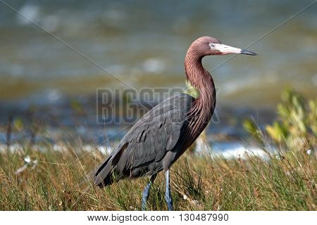 Reddish Egret stalking prey in marshy shallow tidal waters of Chacmuckuk Lagoon Isla Blanca Cancun Mexico MEX