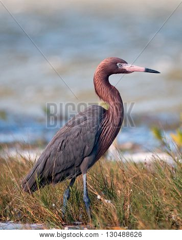 Reddish Egret walking in marshy shallow tidal waters of Chacmuckuk Lagoon Isla Blanca Cancun Mexico MEX