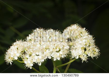 White flowers cluster of blossoming rowan tree sorbus aucuparia close-up selective focus shallow DOF