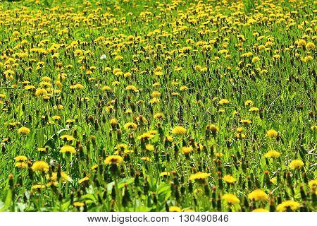 millions of yellow dandelions growing in field