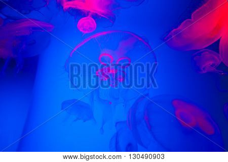Jellyfish on blue background