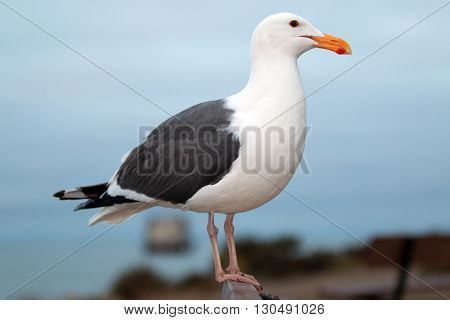 Seagull on bench in Morro Bay Harbor on the Central Coast of California America