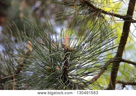 pine branch with green needles and cones