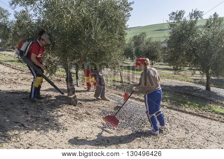 Jaen Spain - January 2008 23: Farmer during the campaign of olive in a field of olive trees farmer accumulating olives with a rake take in Jaen Spain