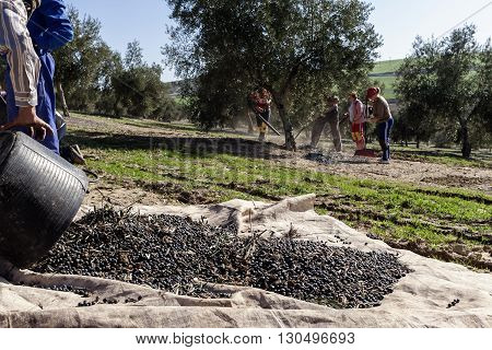 Jaen Spain - January 2 2016: Farmer dumps olives collected in a lot during the winter in January take in Jaen Spain