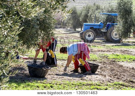 Jaen Spain - January 2008 23: Women farmers during the campaign of olive in a field of olive trees drag the olives in a basket from the floor take in Jaen Spain