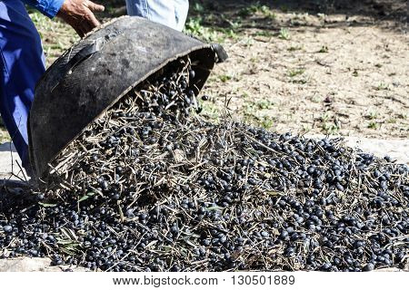 Farmer dumps olives collected in a lot during the winter in January take in Jaen Spain