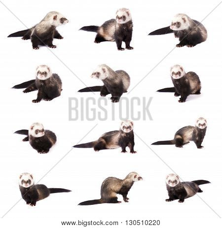 Collage of cute gray ferrets in full growth, isolated on white background
