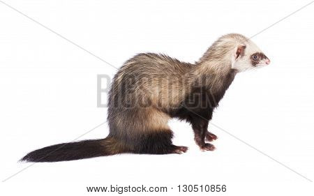 Ferret in full growth isolated on white background