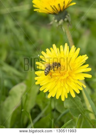 Spring blossom of the dandelion with orange petal on background of the green herb
