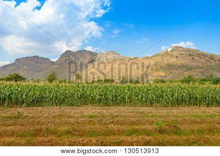 A green field of corn growing up at moutain background
