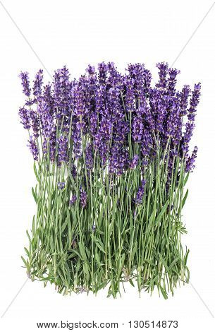 Lavender flowers isolated on white background. Bunch of fresh lavender blossoms