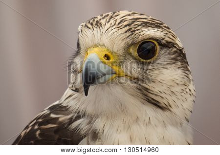 Hawk close up of face in Spain