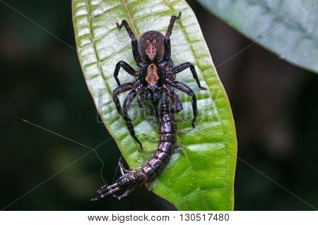 Jumping Spider / Jumping Spider with prey