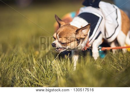 funny Chihuahua enjoy chewing the summer grass. Sunny day. Copyspace.