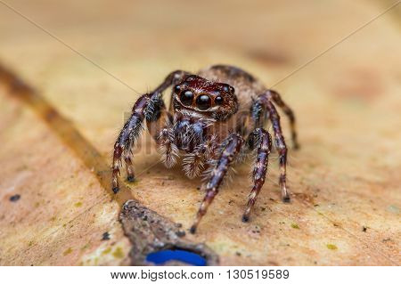 Jumping Spider / Macro Shot Of Jumping Spider of Borneo / Jumping Spider of Borneo
