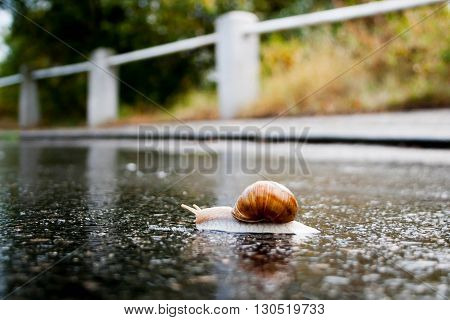 Snail crawling on the wet asphalt road