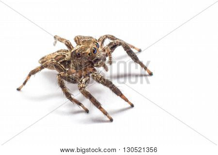 Jumping Spider , Jumping Spider over White background , Jumping spider isolated over white