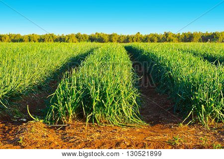 Plantation of Green Onions on the Golan Heights in Israel
