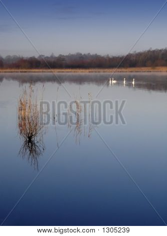 Swans On Still Lake