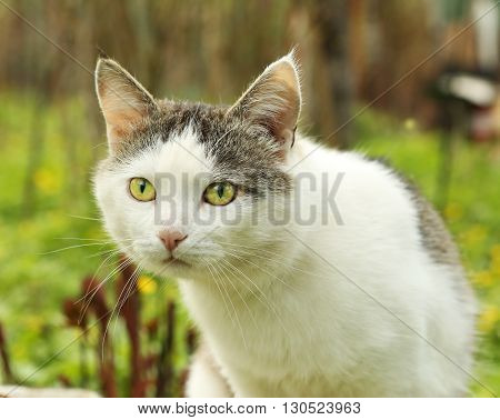cat hunting close up muzzle portrait on the green grass background