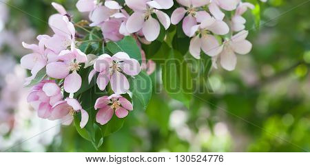 Apple flowers branch macro view. Blooming fruit tree. pistil, stamen, petal detailed image. Spring nature landscape.