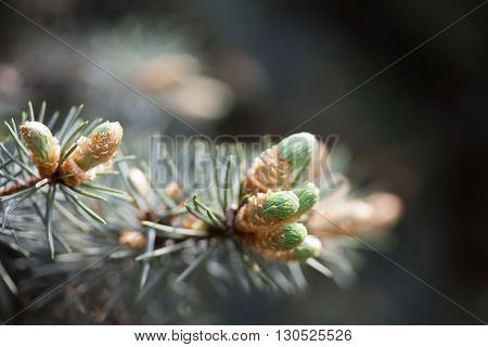 Evergreen pine tree branch with young shoots and fresh green buds, needles. Spring scene
